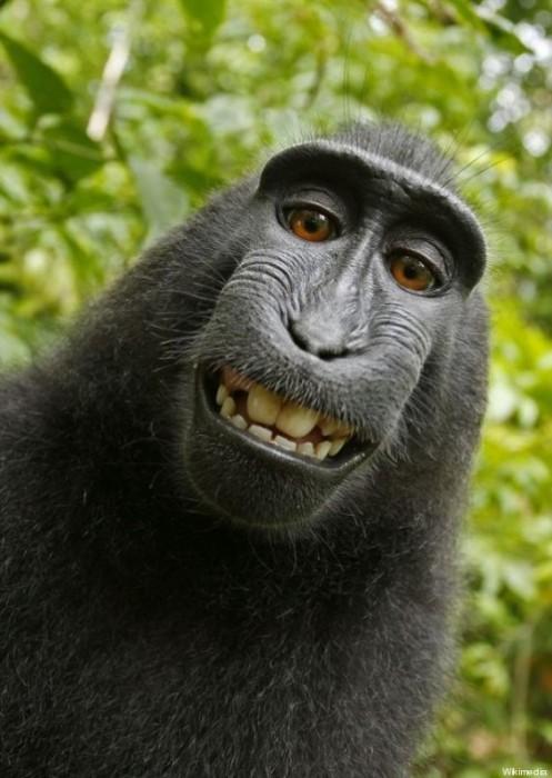 Selfie, même les singes s'y mettent !